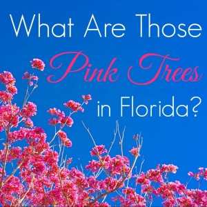 The Flowering Yellow And Pink Trees At Walt Disney World Kim And