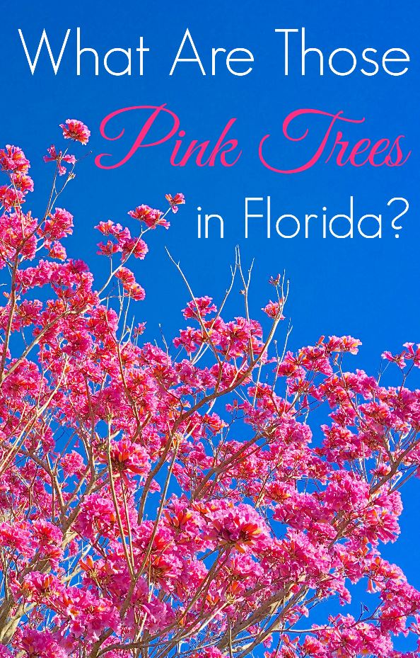 What are the pink flower trees in Florida and Walt Disney World? Everyone asks that question each Spring. Here's the easy answer.