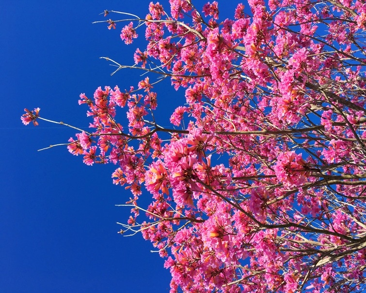 The flowering yellow and pink trees at walt disney world kim and pink flowering tree with blue sky mightylinksfo