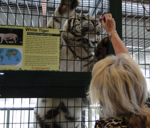 Feeding a white tiger