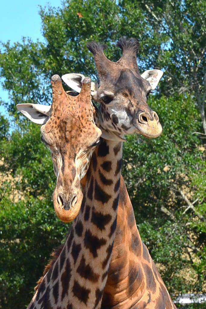 Nuzzling giraffes at Tampa's Lowry Park Zoo. Photo by Dave Parkinson