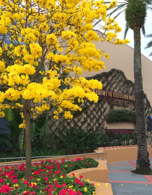 The flowering yellow and pink trees at walt disney world kim and yellow flowering tree disney world hollywood studios mightylinksfo Image collections