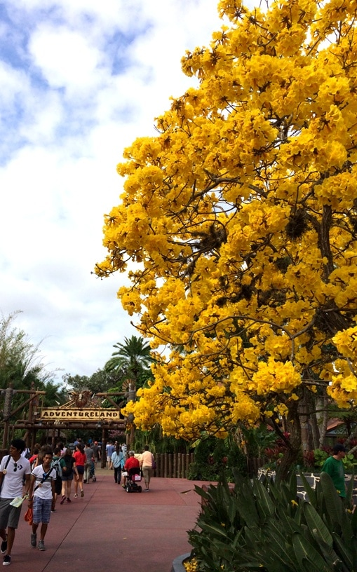 The flowering yellow and pink trees at walt disney world kim and yellow and pink flowering trees in florida mightylinksfo Image collections