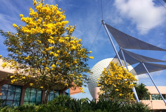 yellow tabebuia trees at epcot at Walt Disney World