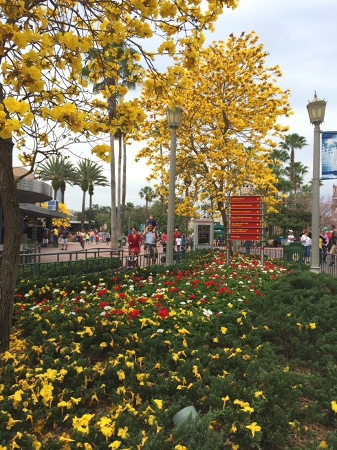 Yellow Tabebuia tree at Walt Disney World in Orlando