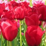 10 Easy Tips for Visiting Keukenhof Gardens in Amsterdam