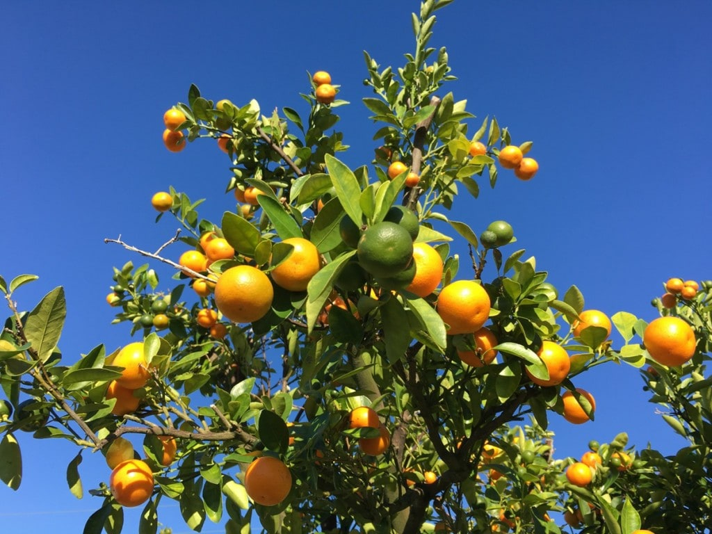 Citrus Trees Florida