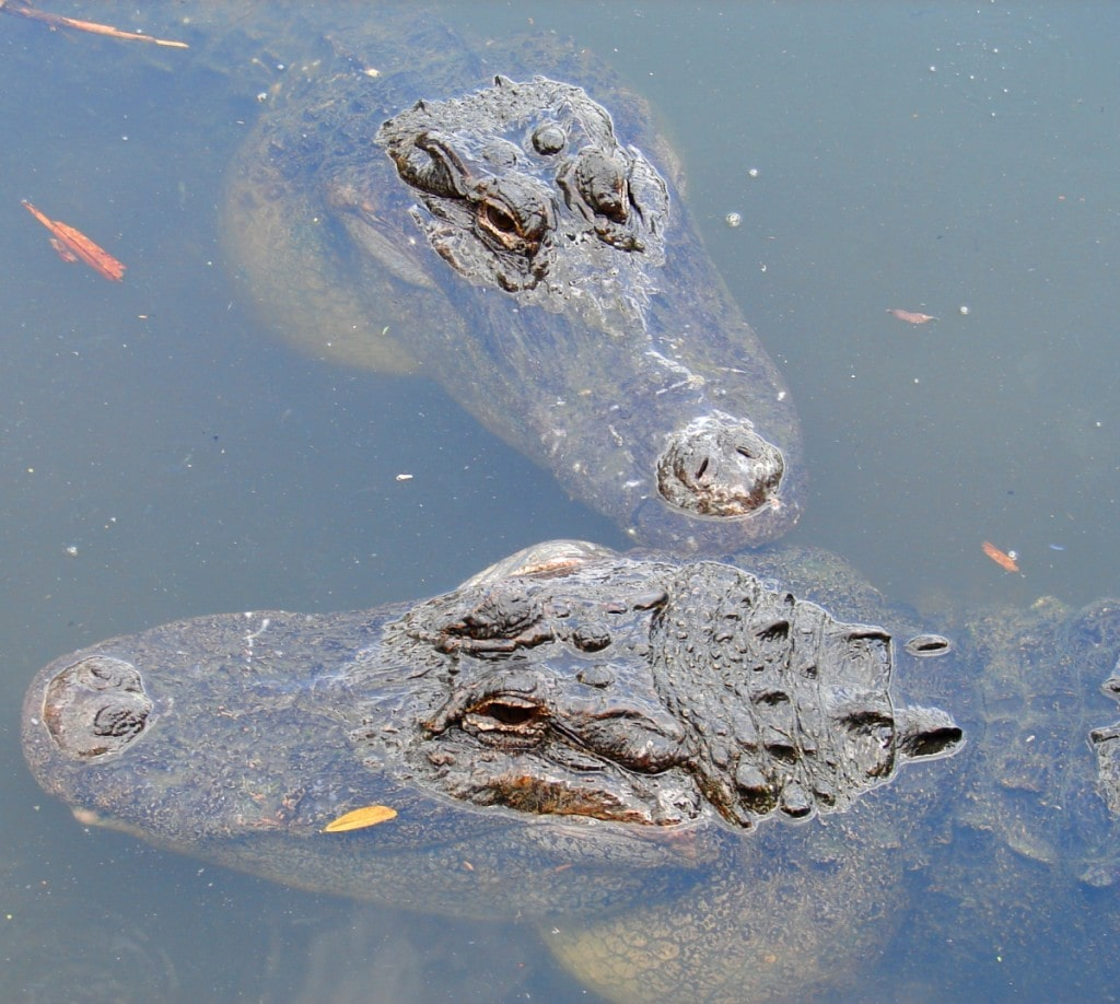 How to Protect Yourself from an Alligator Attack in Florida