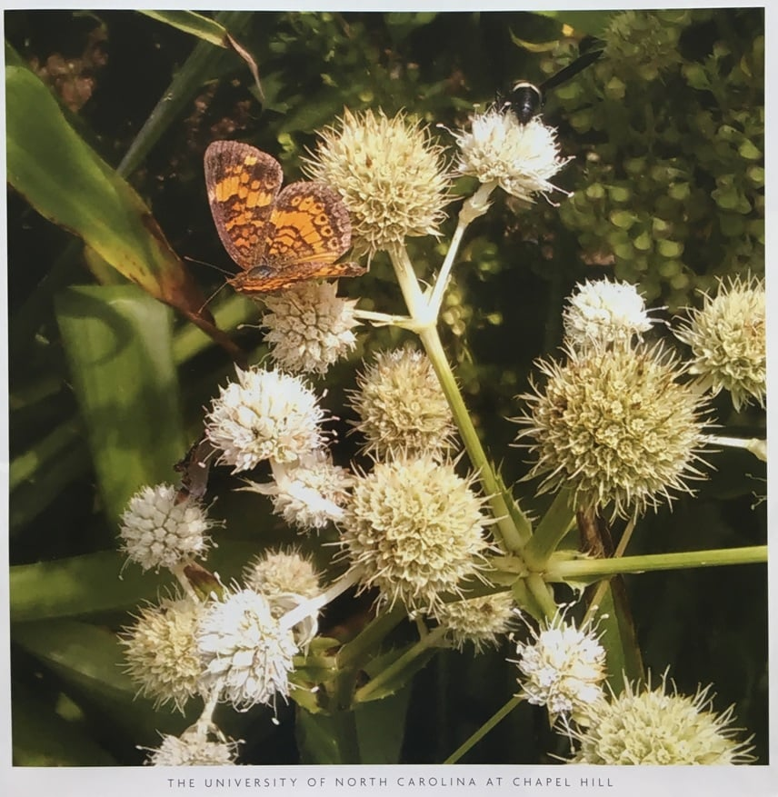 North Carolina Wildflower of the year Northern Rattlesnake-Master