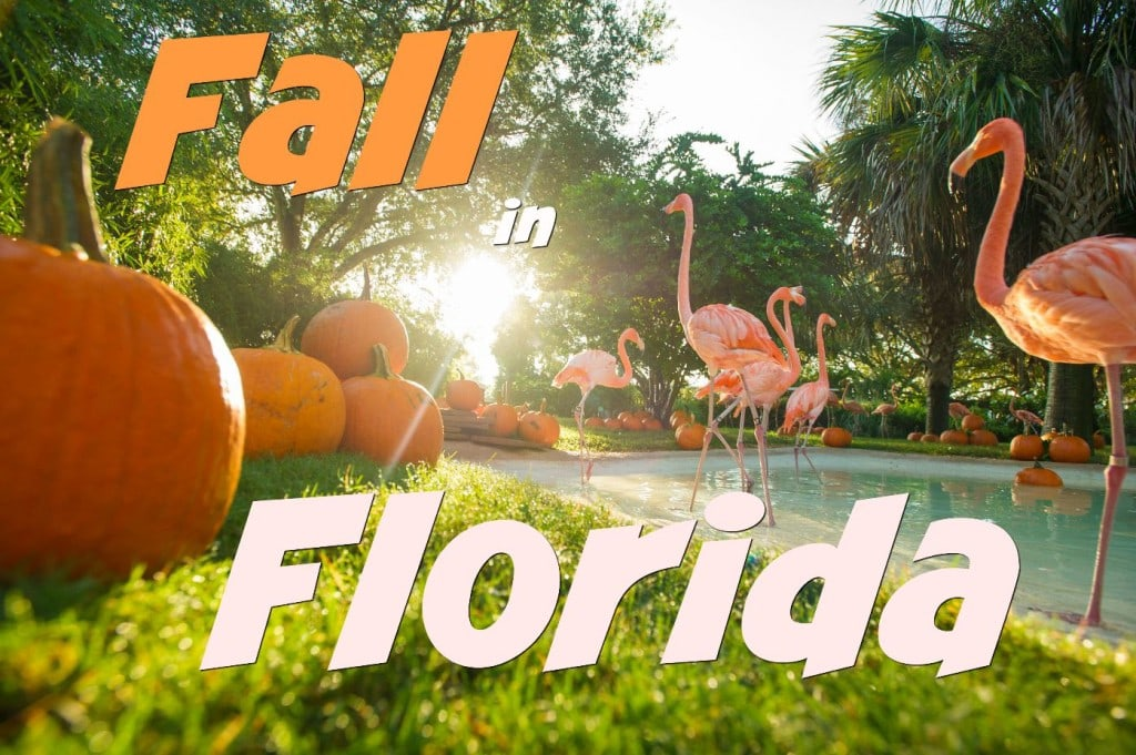 Fall in Florida! Flamingos check out Pumpkins on the first day of Fall at SeaWorld Orlando.