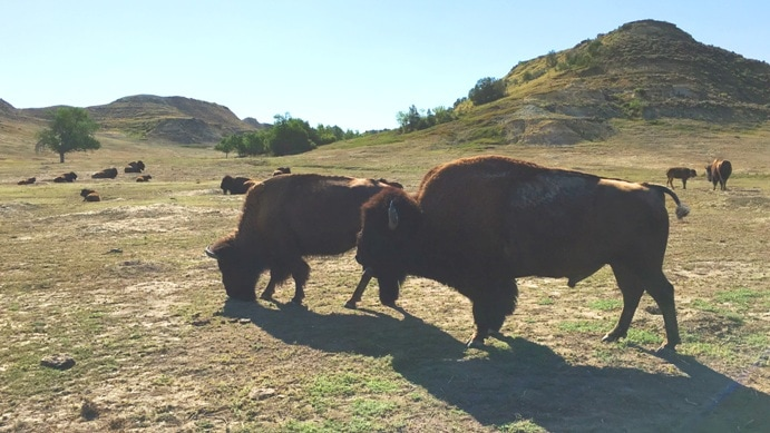 Buffalo in field at Theodore Roosevelt National Park
