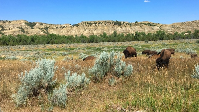 Bison in fields with North Dakota Badlands in distance and scrub brush
