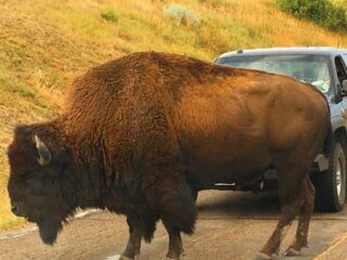 Buffalo in front of a car