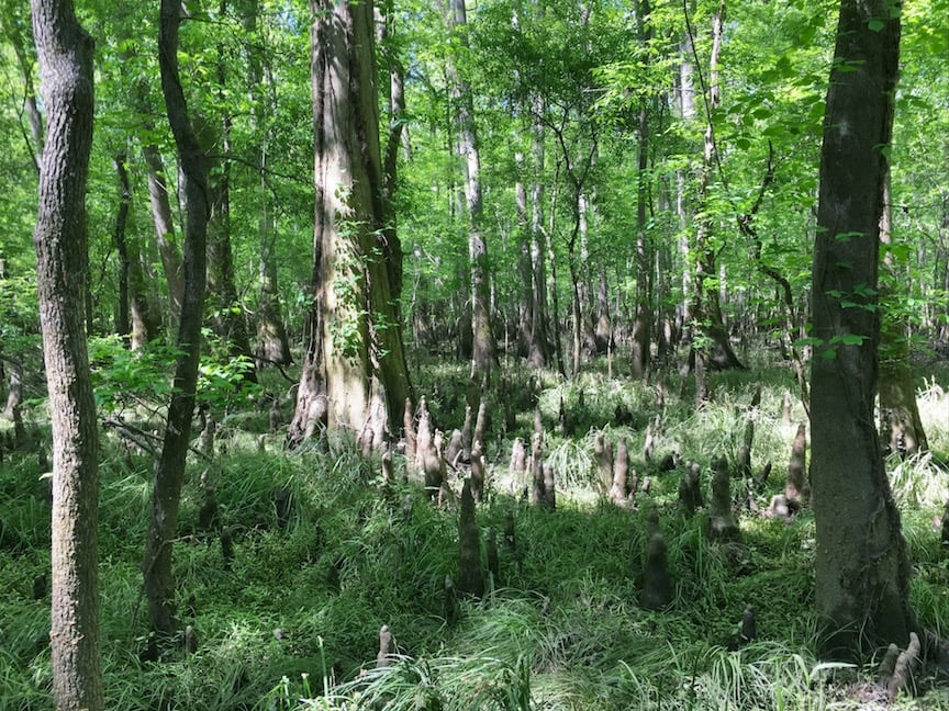 Bald cypress trees and knobs in a National Park forest