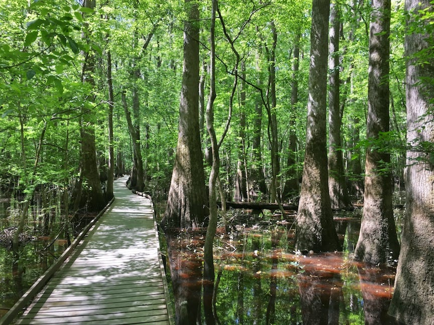 bald cypress forest flooded with brown water and wooden walkway
