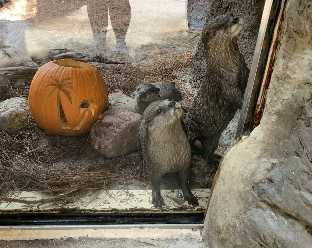 otters at Discovery Cove with Pumpkin carved with Palm tree