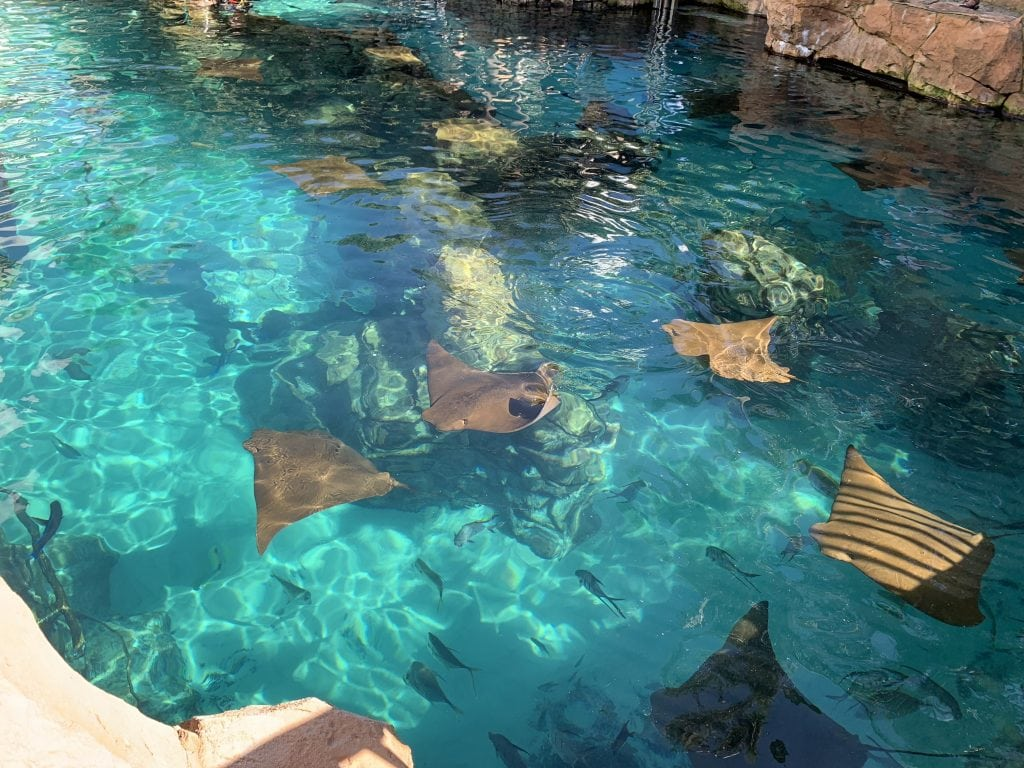 sting rays in turquoise water discovery cove