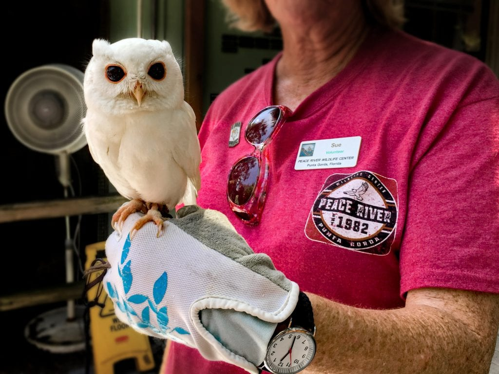 peace river wildlife center volunteer holding white owl on gloved hand Punta Gorda fl