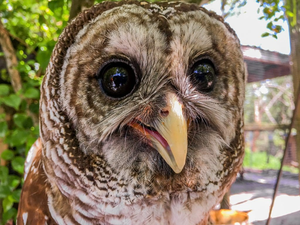 peace river wildlife center rescued owl Punta Gorda fl