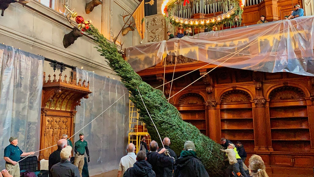 real fraser fir Christmas tree being lifted towards ceiling