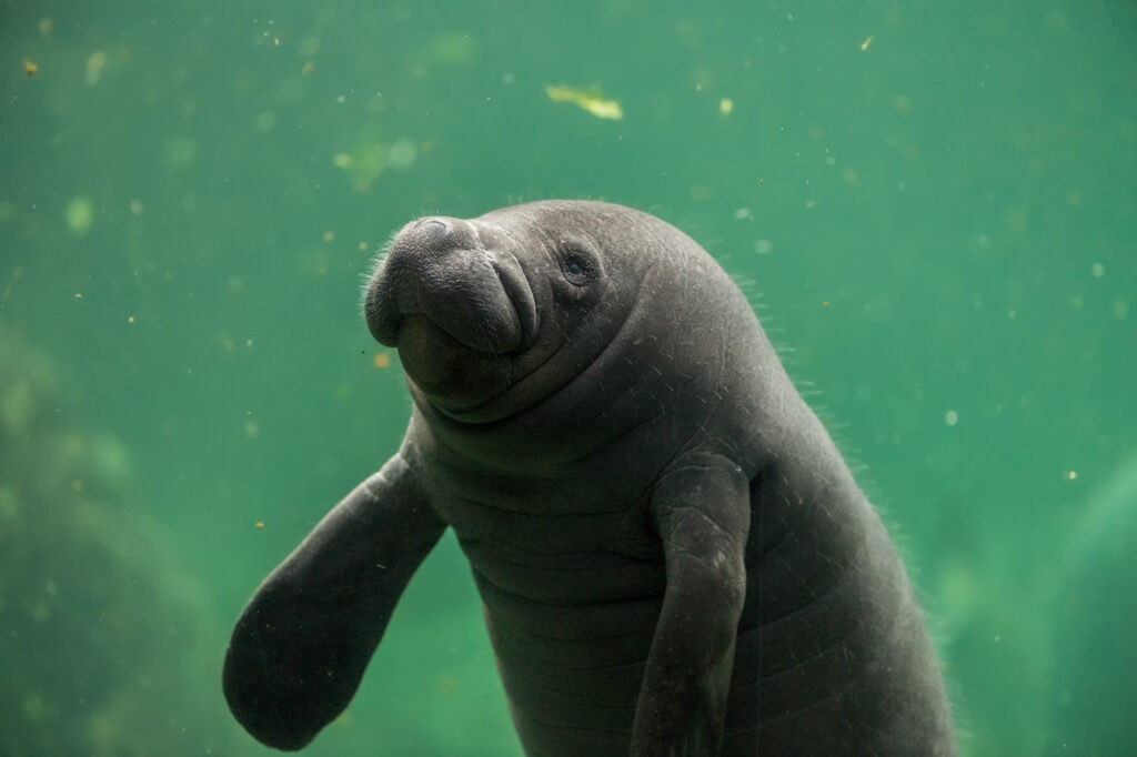 baby manatee in water