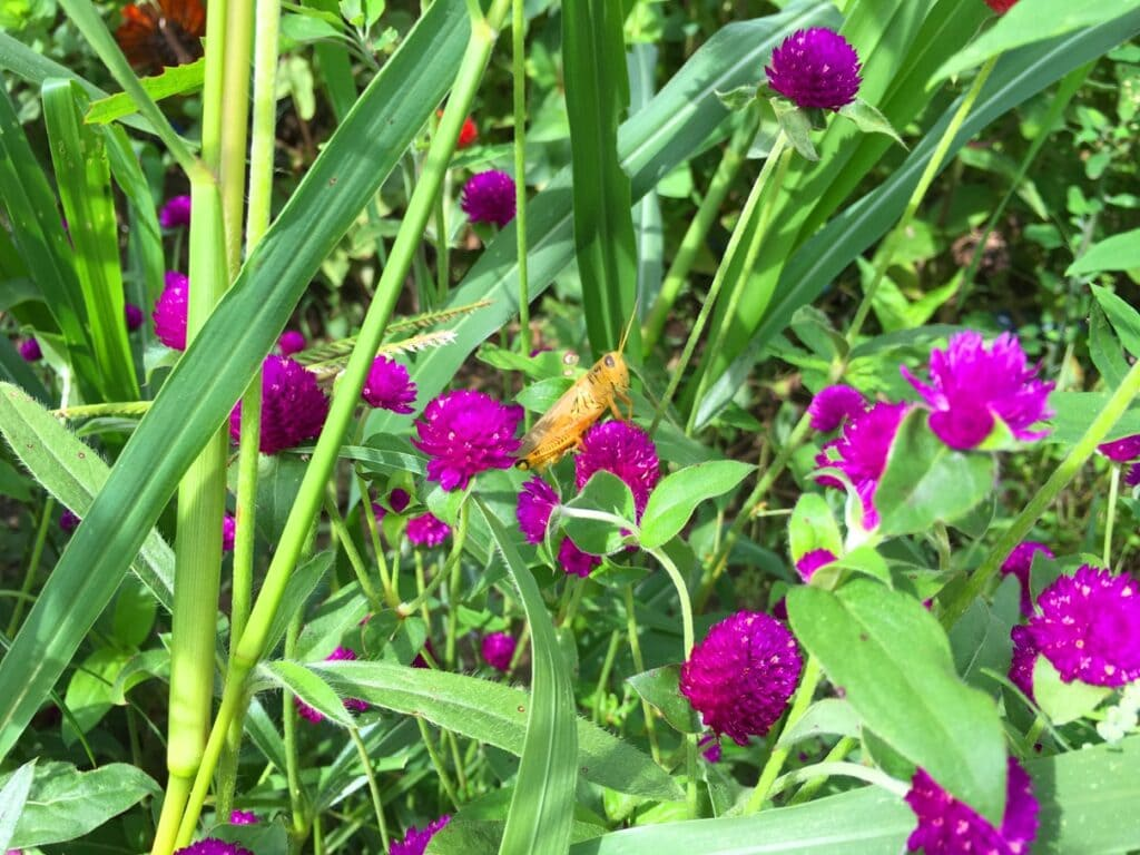purple globe amaranth flowers