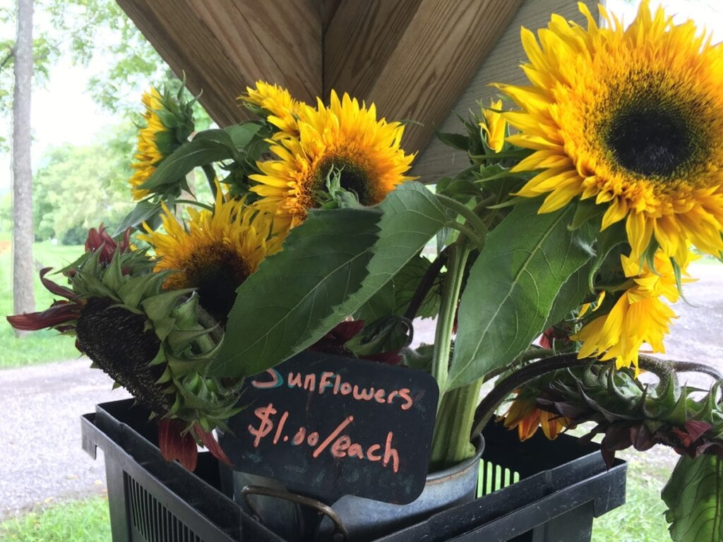 fresh cut sunflowers in buckets