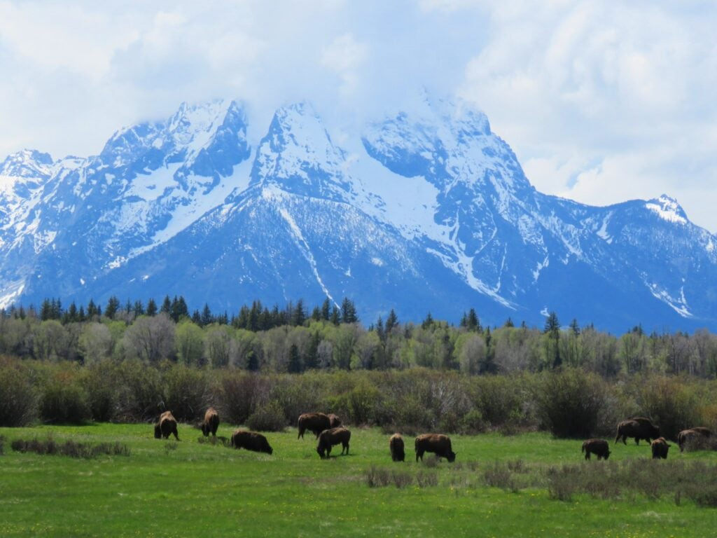 bison in front of mountains